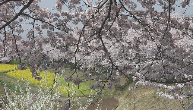 桜と菜の花1