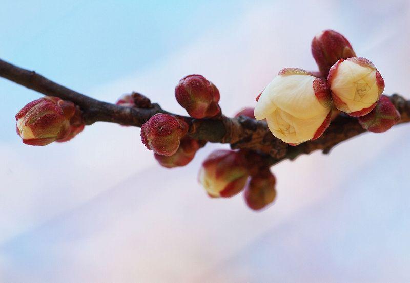 梅のつぼみD70