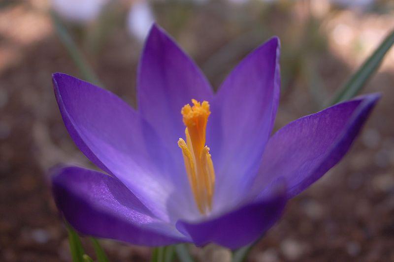 庭に咲いたクロッカス