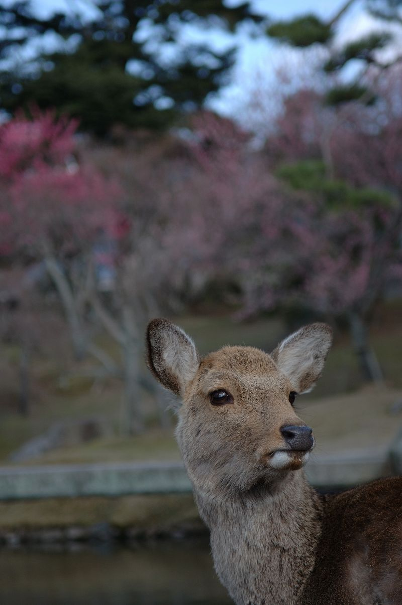 奈良公園の鹿1