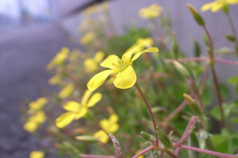 アスファルトの隙間から咲いた花