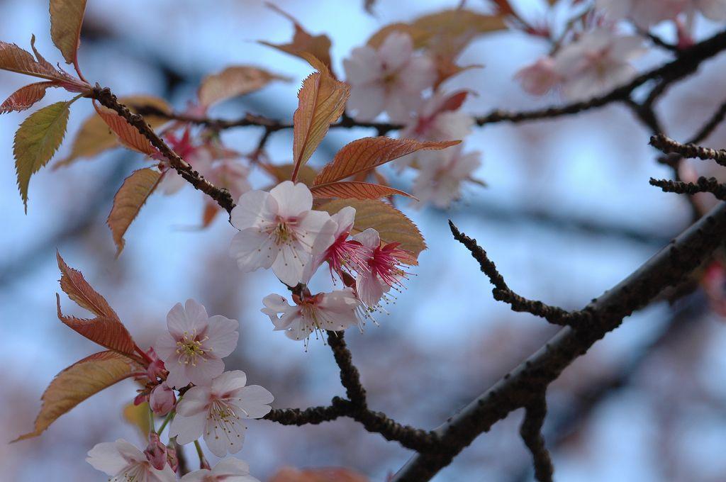 神代植物公園の寒桜