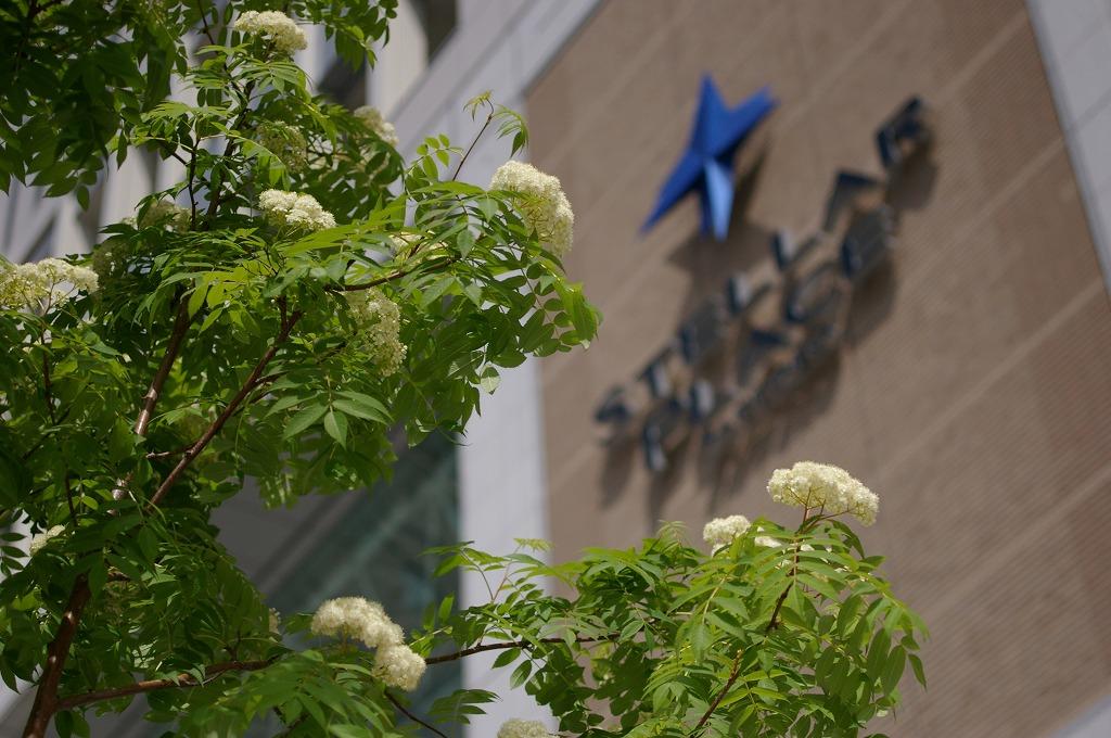 札幌南口駅前ナナカマド
