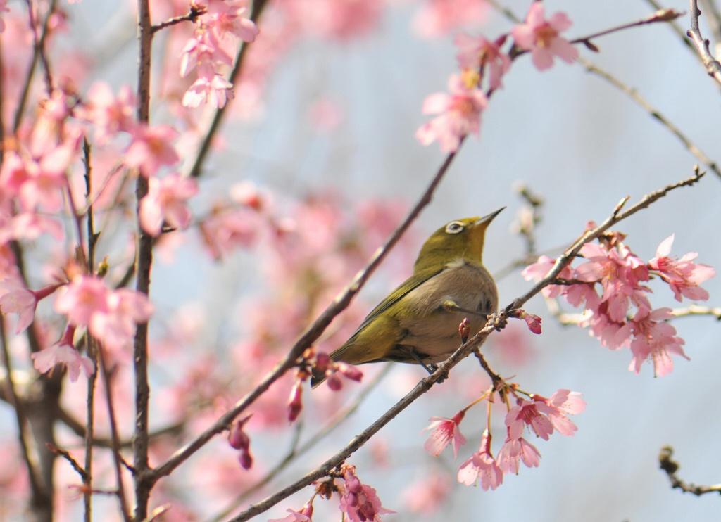 小彼岸桜とメジロ