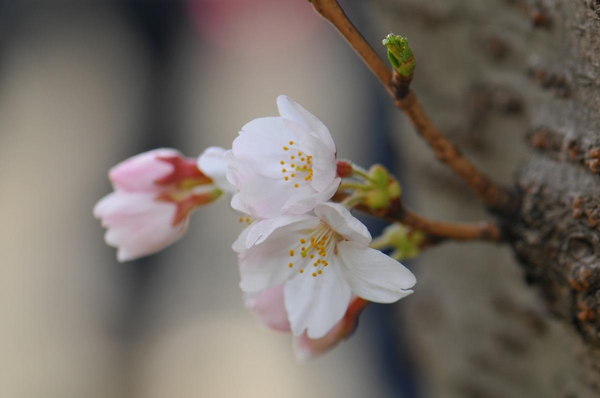 2010/04/03桜