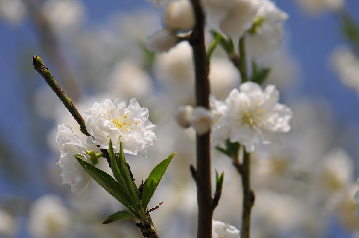 桜1865