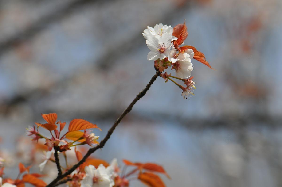 桜1867