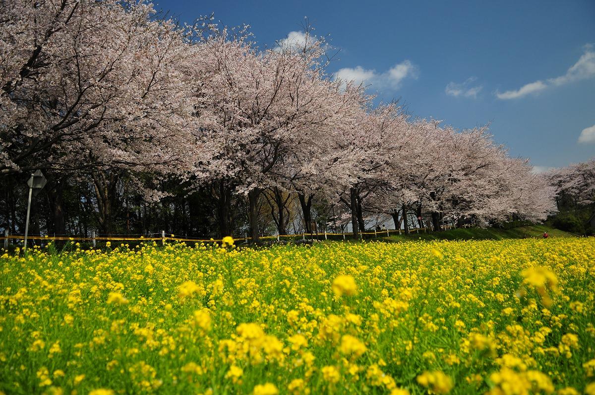 桜1891