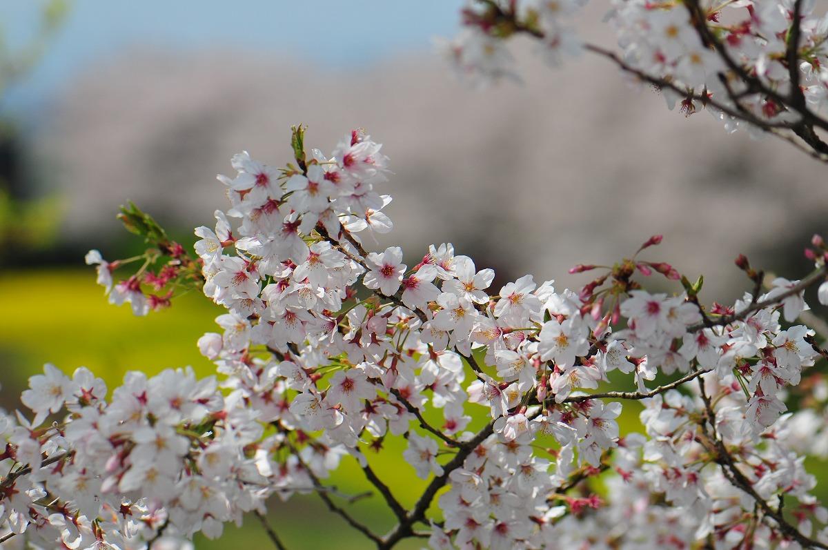 桜1905