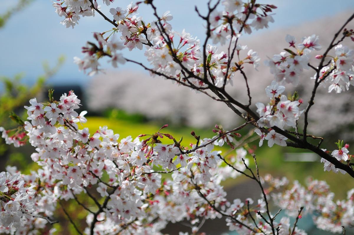 桜1909