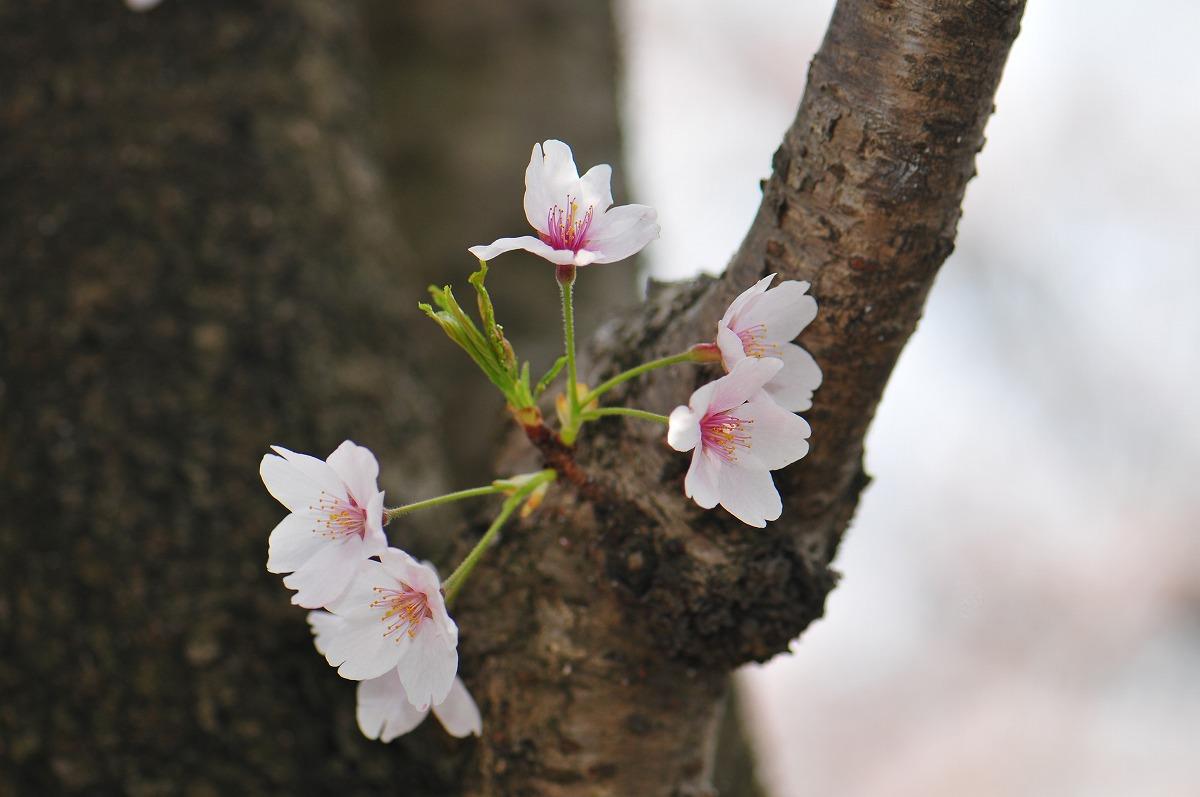 桜1915