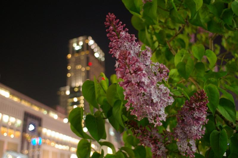 札幌駅南口のライラック