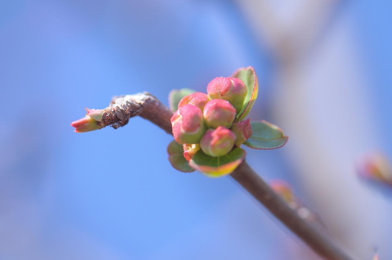 開花直前の梅2