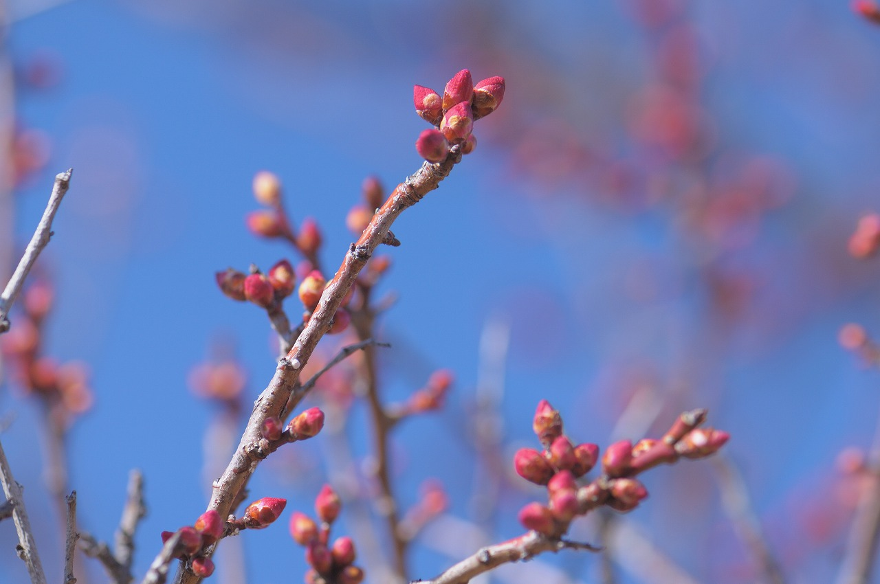 開花直前の梅1