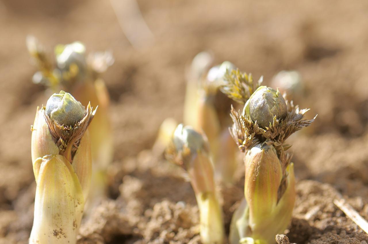 庭の福寿草は間もなく開花