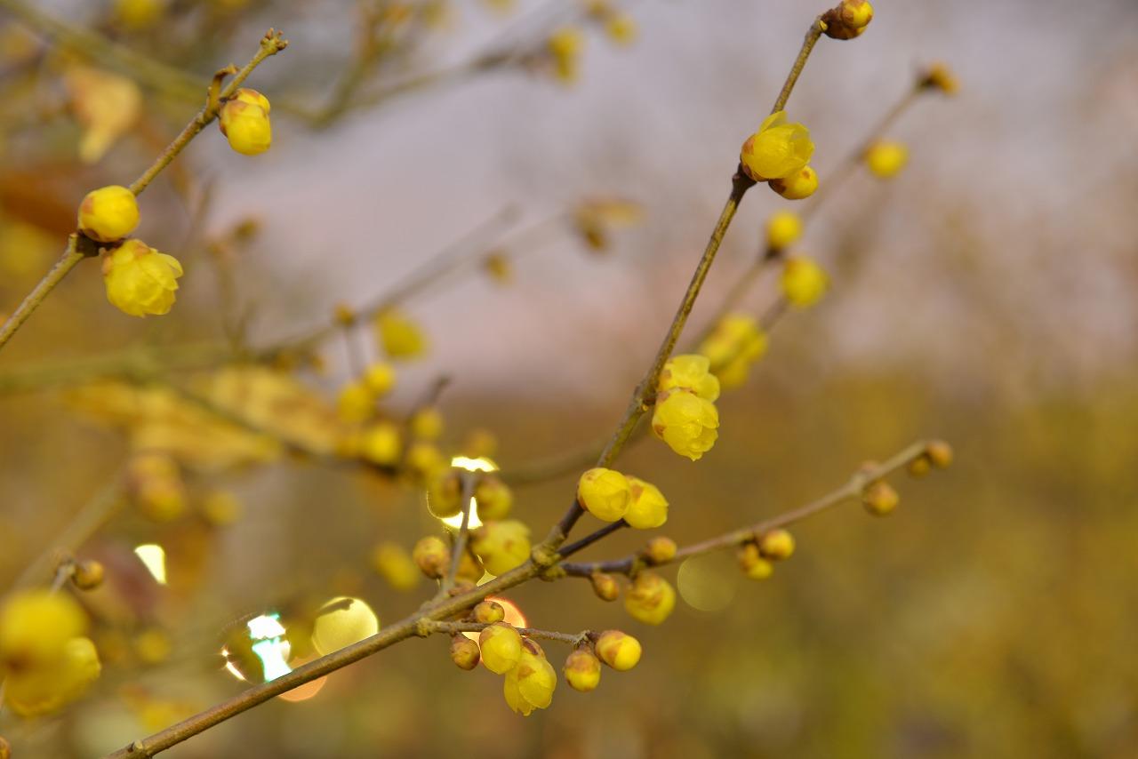 5分咲きロウバイ