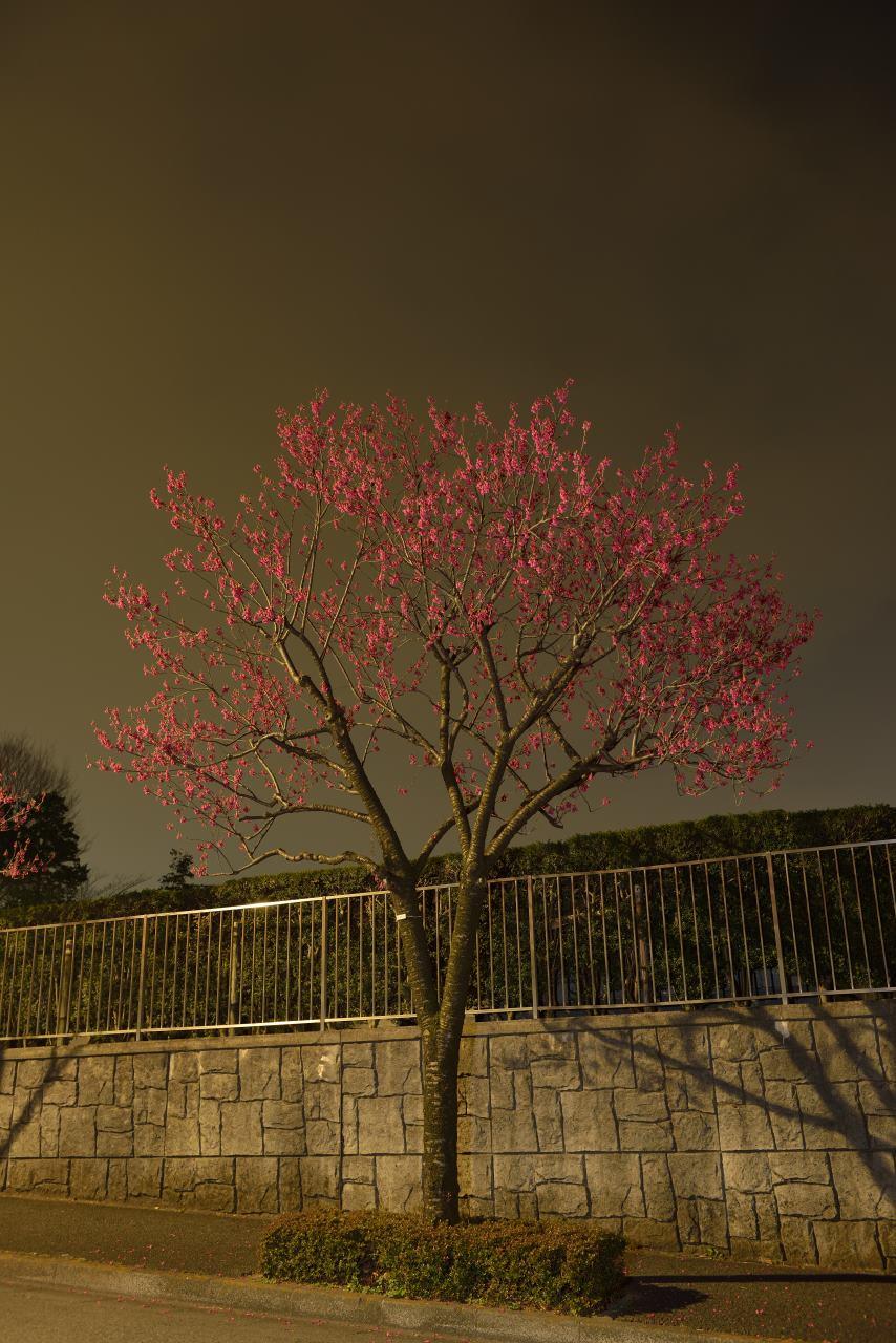 寒波桜満開