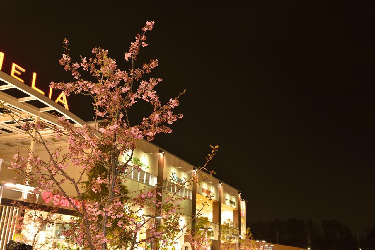 近所スーパーの河津桜は5分咲き
