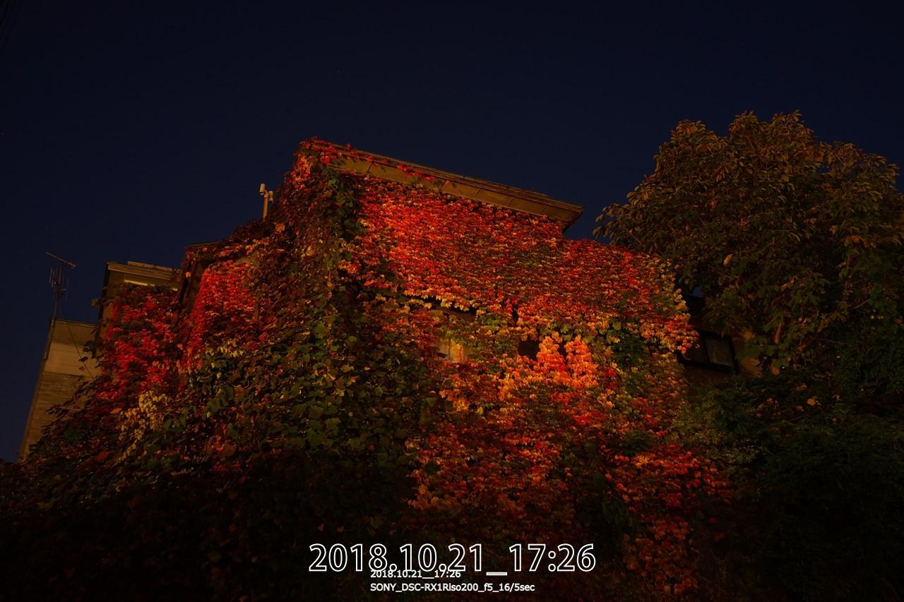 小樽境町。ツタの紅葉遅い。ナナカマドの紅葉おかしい。茶色い葉が目立つ。紅葉するのかな?