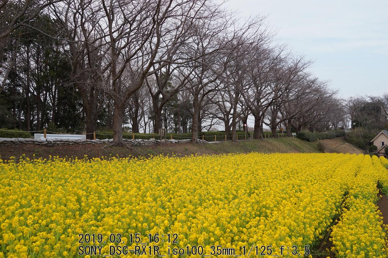 尾根道の菜の花