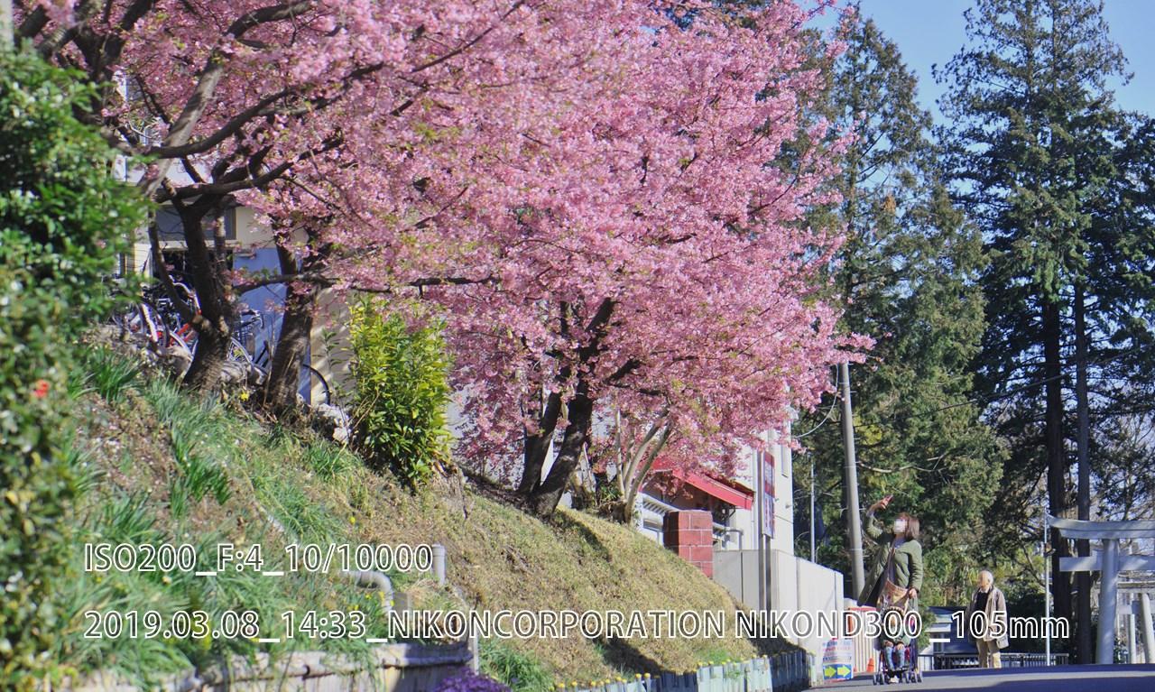 近所の寒桜